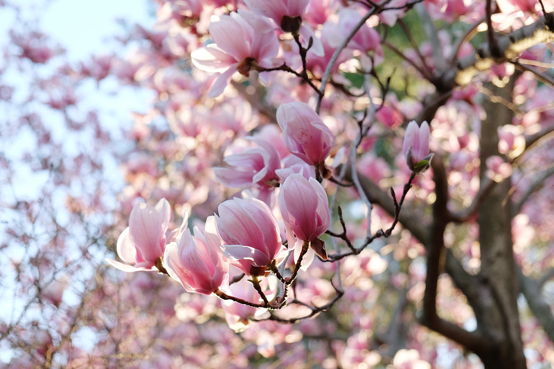 20160317 020 Magnolia in our front yard.JPG