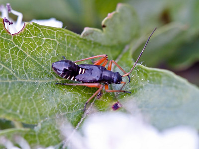 Mirid or Capsid Bugs (Miridae)