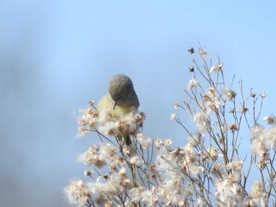 Warbler-unretouched-jan-13-19
