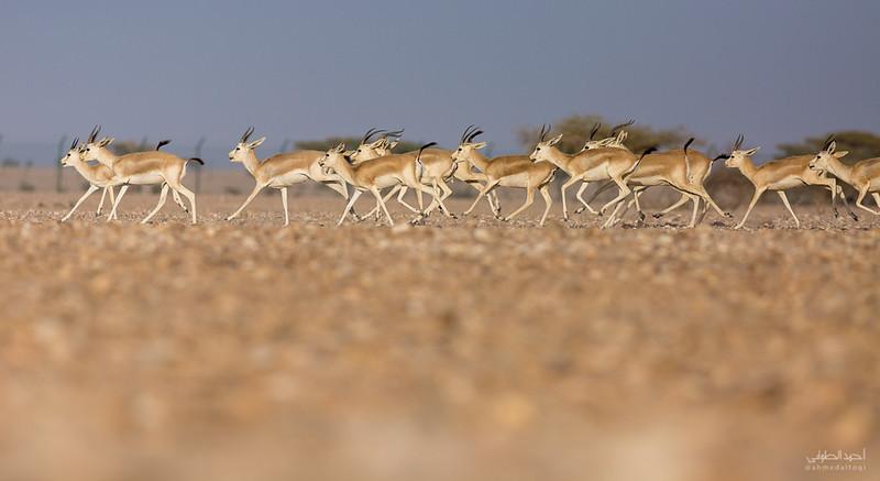 Gazelle (7).jpg