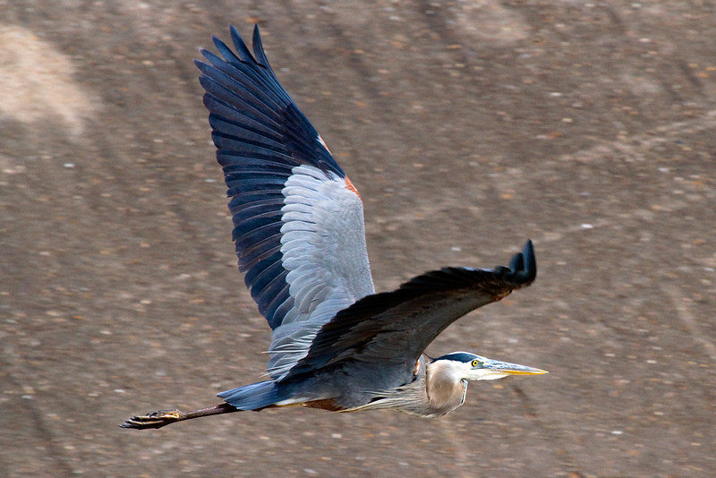Great blue heron in flight over Brays Bayou, Houston