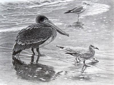 """Pelican"" (pencil) by Carol Foerster"