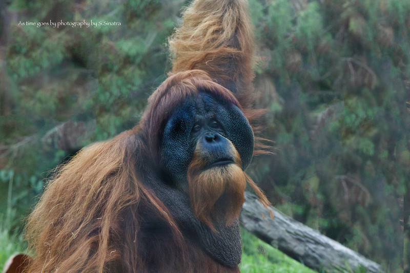 gorilla as time .jpg