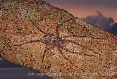 New Guinea Spiders Selenopidae (Flat Crab Spiders, Running Crab Spiders, Flatties, Wall Spiders)