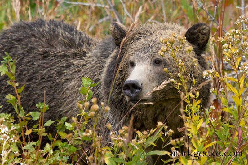 grizzly bear0377-mg.jpg
