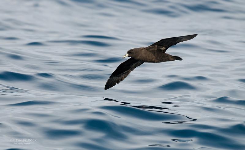 Black Petrel, Wollongong Pelagic, NSW, Oct 2009-1.jpg