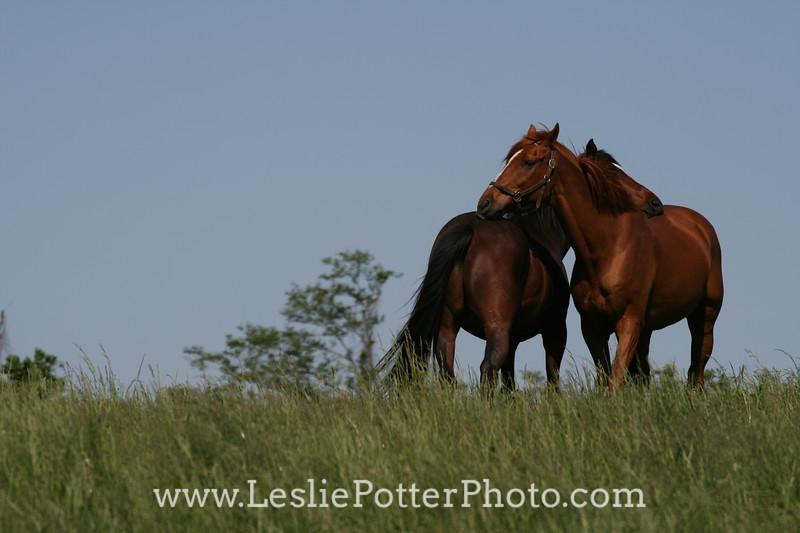 Thoroughbred Horses Mutual Grooming