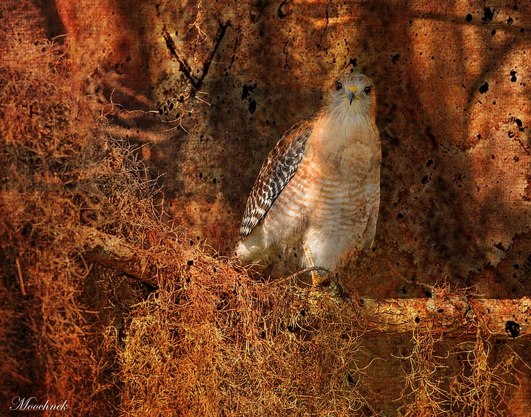 Red Shouldered Hawk in Cheval