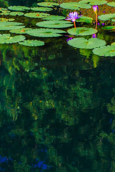 Lily  Pond 44