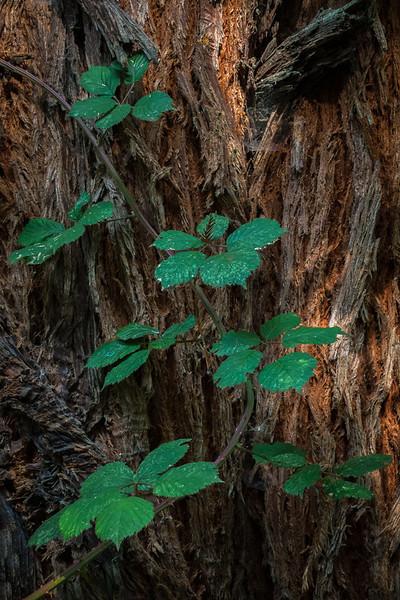 Redwood Berries  Headwaters Forest Reserve, Eureka, CA