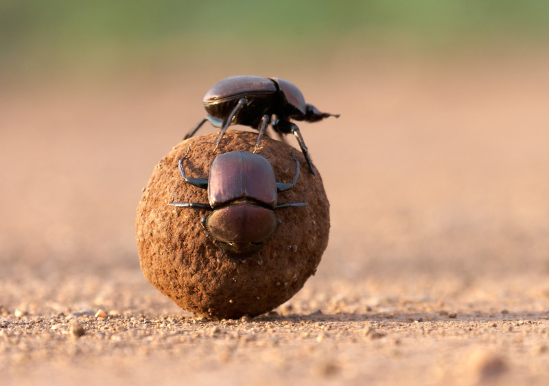 Dung Beetle a - 7063.jpg