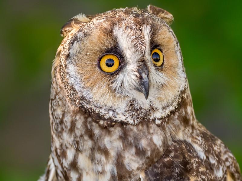 06 0116 Long Eared Owl 0003b.jpg