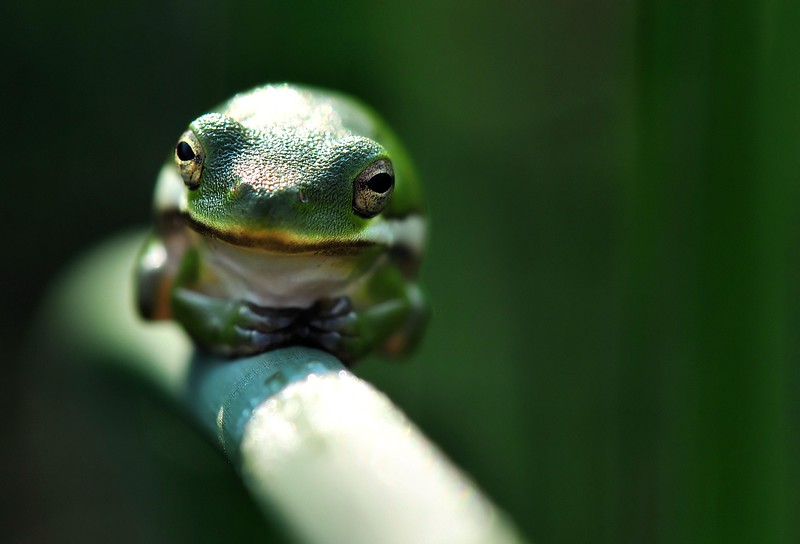 Fort Worth Public Arts - American Green Tree Frog.jpg