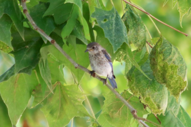 Eastern Bluebird (Juvenile) @ Simpson Lake CP