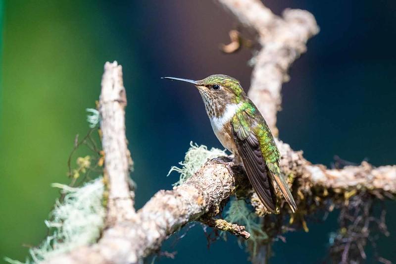 Volcano Hummingbird (female)