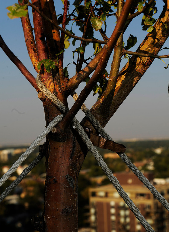 . A close-up of the ropes securing an apple tree in Trimpa\'s rooftop garden. (Cyrus McCrimmon, The Denver Post)
