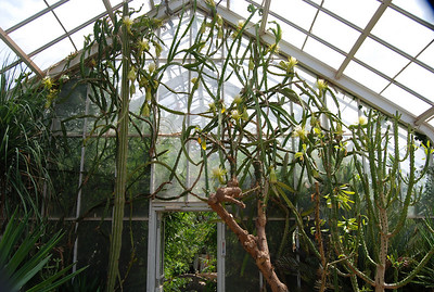 Duke Cerus Blooming
