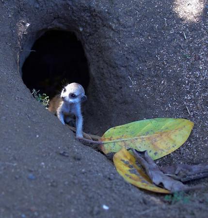 Baby Meerkats @ San Diego Zoo 7/11/2006