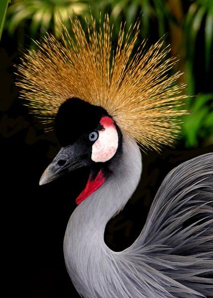 CROWNED CRANE - ZAMBIA