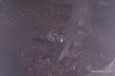 20120606 Possums at CWW