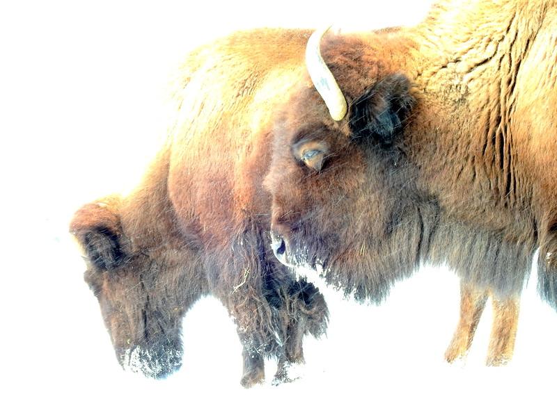 Buffalo (21).JPG