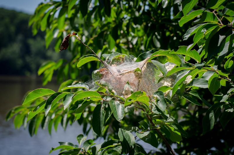 North Carolina Spider Web