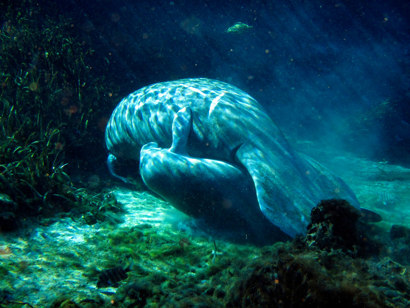 2_26_20 Baby Manatee Cuddled With Mother.jpg