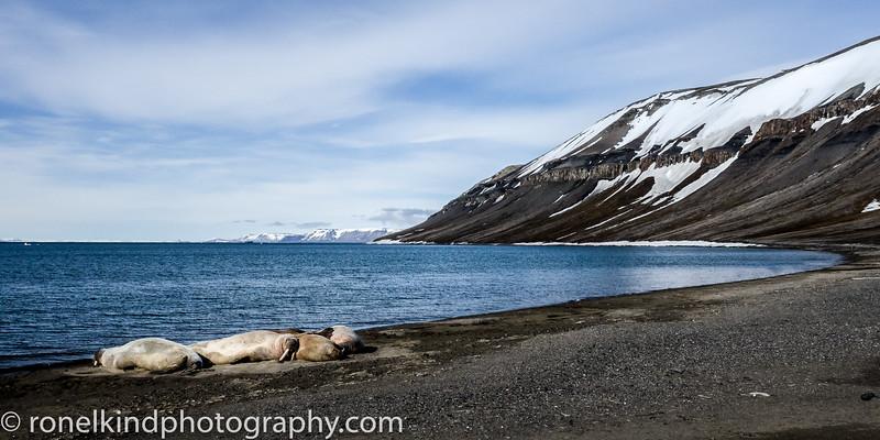 Doleritt Point Island Walruses sleeping on the beach