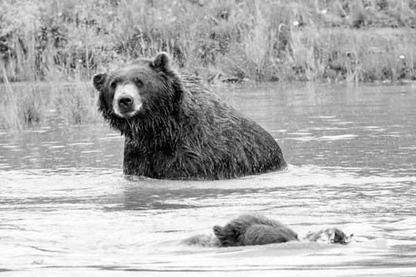 Grizzlies, Lake Clark National Park, Alaska, 2009