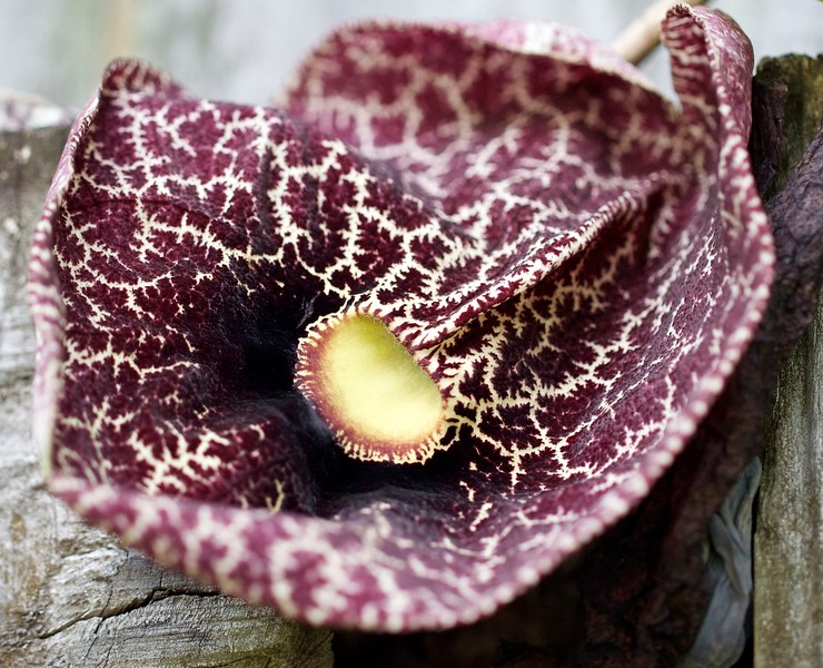 dutchman's pipe 1 of 3