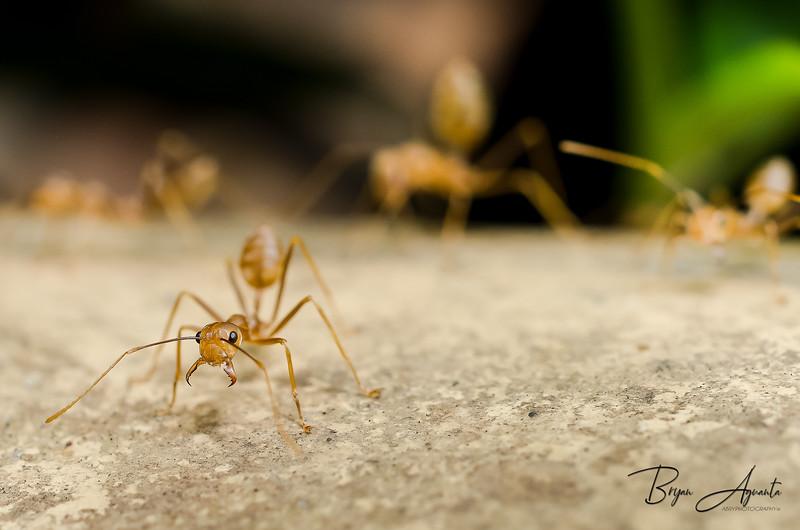 _DSC4244-Giant Ant.jpg