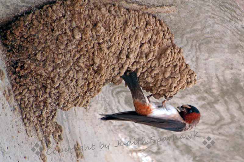 Cliff Swallow at the Nest ~ This particular nest has been built out further and further, and this swallow is peeking into the nest hole.