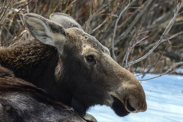 4 2013 Apr 20 Moose & Calf
