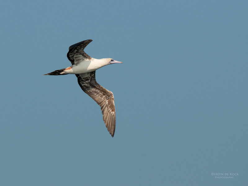 Red-footed Booby, Port Stephens, NSW, Mar 2010.jpg