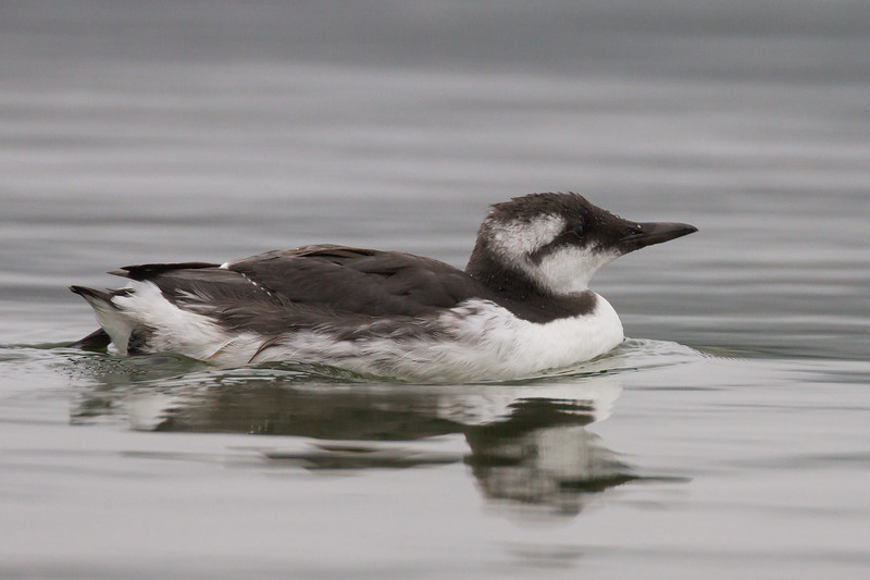 Common Murre - Half Moon Bay, CA, USA