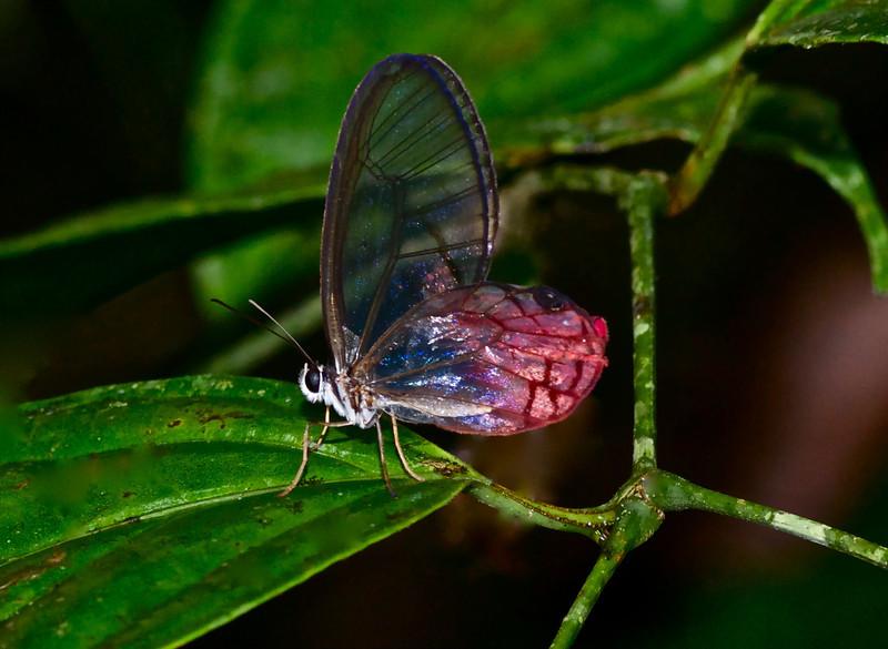 Paradise Phantom Blush Butterfly (Cithaerias phantom)