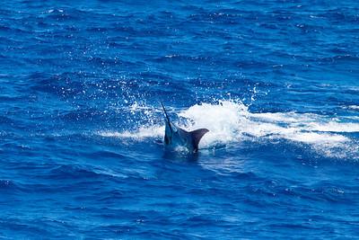 Blue Marlin Jumps