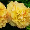 Yellow begonia..