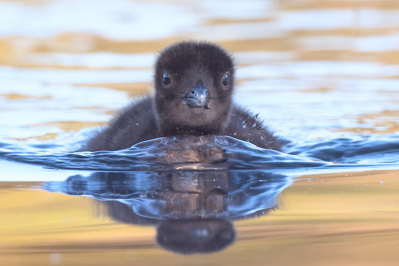 #1642 Common Loon Chick