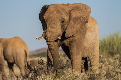 Namibia Mammals IV: Elephants