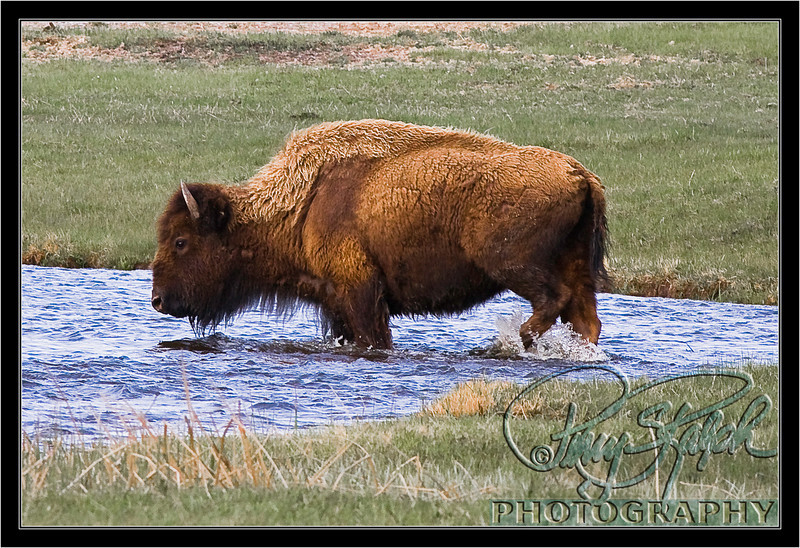 Bison Crossing Stream