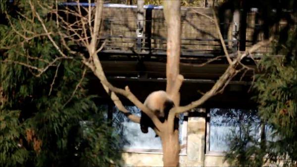 Pandas - Bao Bao