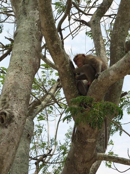 Monkeys on Chamundi Hill