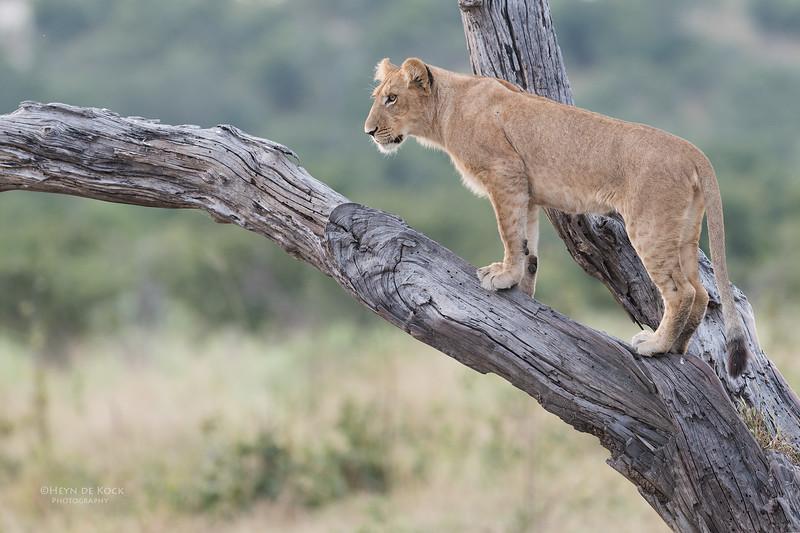 African Lion, Savuti, Chobe NP, Botswana, May 2017-33.jpg