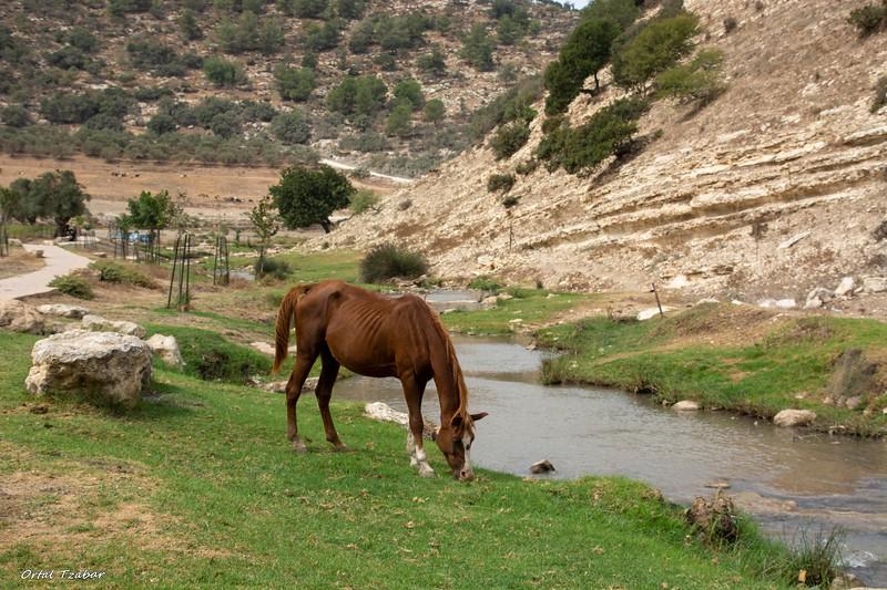 סוס בנחל ציפורי.jpg