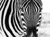 Burchell's Zebra Mono