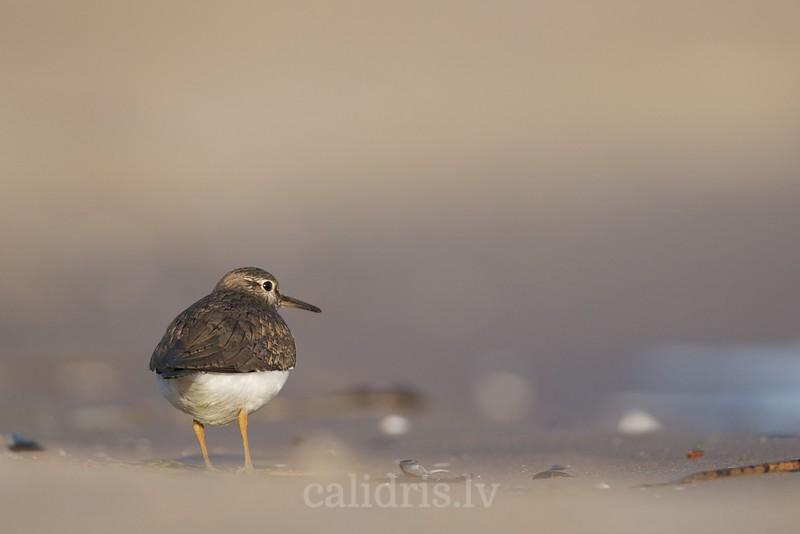 Common sandpipper on beach
