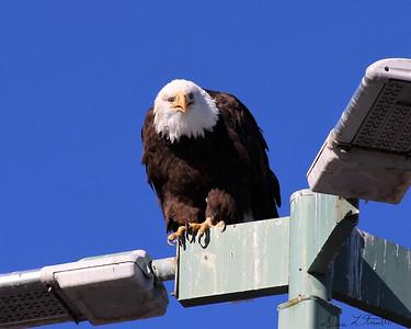 Sparks Marina Bald Eagles