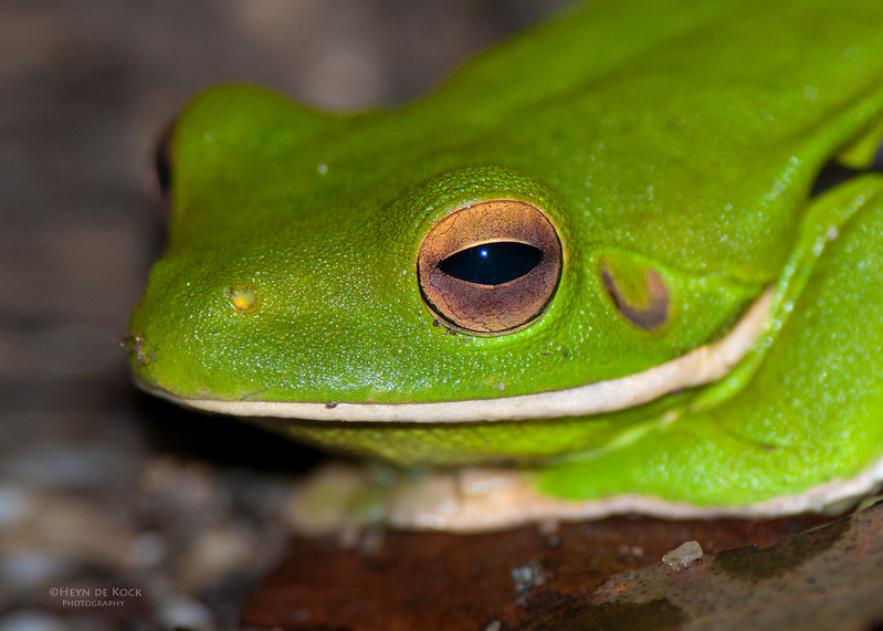 White-lipped Tree Frog, Julatten, QLD, Dec 2009.jpg