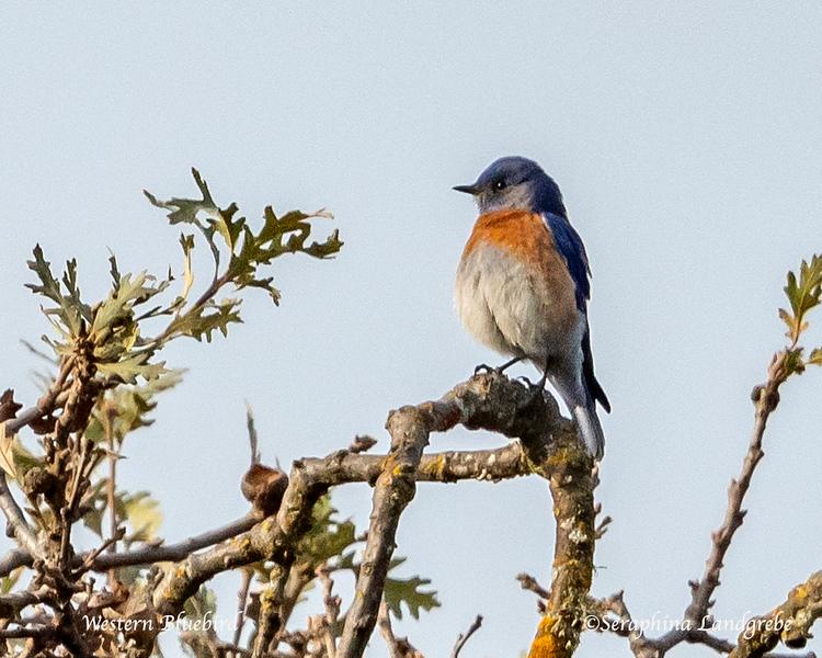 _DSC3777Western Bluebird.jpg